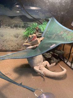 PsBattle: this bearded dragon trying to get on his hammock Bartagamen Terrarium, Terrarium Reptile, Bearded Dragon Funny, Bearded Dragon Habitat, Bearded Dragon Cage Ideas, Les Reptiles, Cute Reptiles, Cute Little Animals, Cute Funny Animals