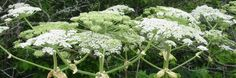 The sap of the giant hogweed plant can cause severe skin and eye irritation.  Read more at http://www.snopes.com/medical/toxins/hogweed.asp#Apr2qvAqxiTSSYqv.99 snopes.com: Giant Hogweed Toxicity Warning