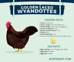 What are some things you need to consider before Making a Correct Chicken-Choice? Here are the BEST Egg-Laying Chickens. Best Chickens For Eggs, Best Egg Laying Chickens, Raising Chickens, Raising Goats, Chicken Facts, Chicken Life, Small Chicken, Backyard Chicken Coops, Chickens Backyard