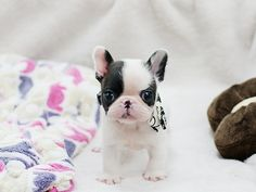 Super mini french bulldog pup