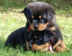 "Obtain terrific pointers on ""Rottweiler puppies"". Cute Puppies, Cute Dogs, Dogs And Puppies, Doggies, West Highland Terrier, Animals And Pets, Baby Animals, Cute Animals, Australian Shepherds"