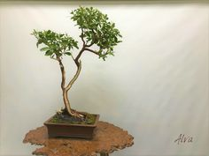 Miami Tropical Bonsai is one of the largest bonsai companies in the United States. We have over bonsai trees in stock, handmade bonsai pots, bonsai tools Bonsai Tools, Wonder Art, Wonders Of The World, Miami, Tropical, Plants, Beautiful, Plant, Planets