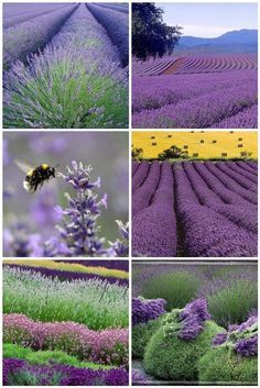 This picture makes me want to have a lavender farm. - This picture makes me want to have a lavender farm.
