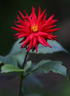 ~~The Last One | red cactus dahlia | by AnyMotion~~