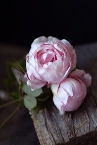 English rose, Brother Cadfael - often mistaken for peonies