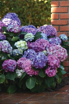 The LA Dreamin' hydrangea reviews are in and it's a winner! Do you want blue flowers? You got it! Do you want pink flowers? You got it! Do you want lavender flowers? You got it! All the colors, all season long, on one plant! Order yours today!