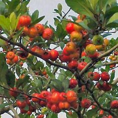 A widely grown grafted cultivar, the Mason's Superberry produces a large, round, red fruit. The berries are of excellent quality and when ripe may hang on the tree for a very long time. This attribute is very desirable for its ornamental value and long harvest period. Mason's Superberry is the earliest flowering variety which offers rich, delicious red mayhaws in early May.  Grows in zones: 6 - 10.