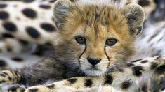 Explore and share Cheetah Wallpaper for Computer, Cheetah Baby Desktop Wallpaper High Quality WallpapersWallpaper
