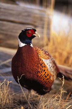 Pheasant on the farm not under glass!