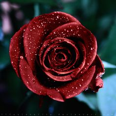 kiss from a rose by illusionality.deviantart.com on @deviantART