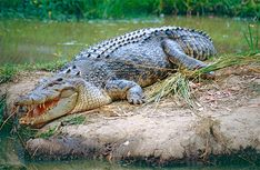 Australian Crocodiles - Information for the nervous tourist! Reptiles Preschool, Les Reptiles, Cute Reptiles, Reptiles And Amphibians, Preschool Activities, Crocodile Marin, Crocodile Animal, Australian Crocodile, Crocodiles