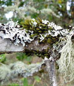 Parmelia sulcata (Hammered Shield Lichen), Moss, and Usnea longissima   (Methuselah's Beard Lichen).