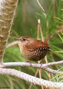 Winter Wren--our wonters in Alberta Canada are white with snow and deep snow--not sure these little wonders would survive our cold