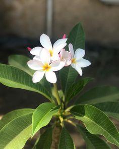 Everything about Plumeria Flower