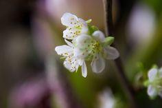 Blossoms   #Nature  #Garden  #Outdoor  #Photography  #Photographer  #Blur  #Blooming  #Color  #Light  #Flora  #upclose  #exposure  #interesting  #Flower  #Closeup  #Macro  #Delicate  #blossom  #Botanical  #Beautiful  #Composition  #bokeh   #Sunshine  #Pollen  #Bright   #Park  #floral  #Stamen   #spring  #Petals