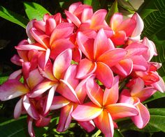 Will never forget the scent of plumeria in the air, the first time I went to Hawaii. Wish I could grow these in my tropical garden here!