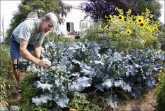 John Arnold tends to his broccoli in his Rossford garden.