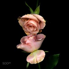 LIP-CARESSING.. Roses by Magda Indigo on 500px
