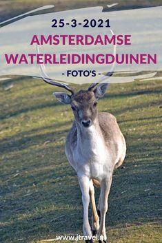 Ik maakte een wandeling in de Amsterdamse Waterleidingduinen. Dit keer zag ik een pad, twee bunkers, een vos, knobbelzwanen en damherten. Mijn foto's zie je hier. Kijk je mee? #awd #damhert #vos #knobbelzwaan #pad #bunkers #wandelen #hiken #natuur #jtravel #jtravelblog #fotos