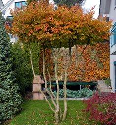 A - Parrotia persica Garden Yard Ideas, Garden Trees, Trees To Plant, Back Garden Design, Backyard Garden Design, Outdoor Plants, Outdoor Gardens, Riverside Garden, Dutch Gardens