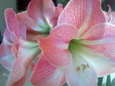 Amaryllis in full blossom early in the morning. __©Peggy Carajopoulou-Vavali