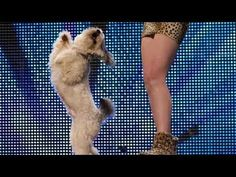 Ashleigh and Pudsey - Britain's Got Talent 2012 audition - UK version   Of course he is part BICHON!