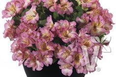 402051 Alstroemeria x hybrida Inticancha® Sunshine