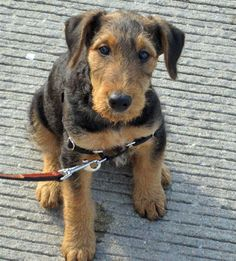 Bogard the Airedale Terrier, such an innocent little face!