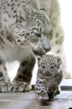 """A baby snow leopard and its mother """"Milla"""" at the zoo in Servion, Switzerland on Thursday, July 2013 Big Cats, Cats And Kittens, Cute Cats, Beautiful Cats, Animals Beautiful, Beautiful Life, Cute Baby Animals, Animals And Pets, Wild Animals"""