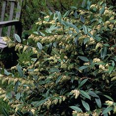 Leucothoe axillaris- shade loving tall evergreen - for North Terrace, next to statues
