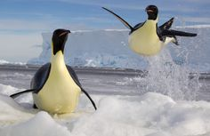 The flightless emperor penguin is capable of becoming airborne, by swimming at up to three times its normal speed, and launching itself from the water to clear the edge of a shoreline. Recent research shows that the penguins do this by releasing air from their feathers, in the form of tiny bubbles.