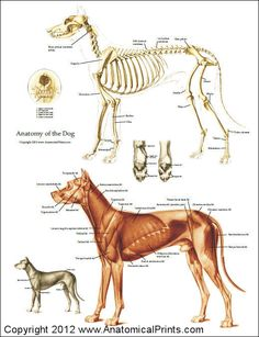 Dog anatomy chart of the skeleton and muscles.