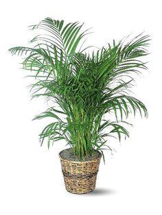 Areca Palm. Palmerita de interior para el living comedor.
