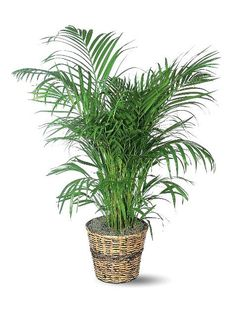 Best and Easy Indoor House Plants - iVillage (Great site for filling the apartment with some living green...love Areca Palm)