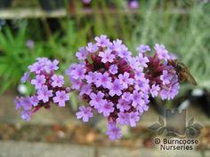 Buy Verbena Bonariensis plants from Burncoose Nurseries