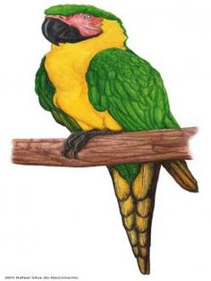 Dominican green and yellow macaw Ara atwoodi (Rafael Silva do Nascimento) Palm Frond Art, Cryptozoology, Sea Monsters, Cockatoo, West Indies, Natural History, Pet Birds, Animals And Pets, Mythology