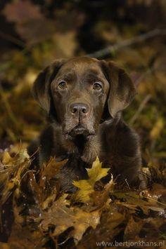 Mind Blowing Facts About Labrador Retrievers And Ideas. Amazing Facts About Labrador Retrievers And Ideas. Lab Puppies, Cute Puppies, Cute Dogs, Especie Animal, Mundo Animal, Beautiful Dogs, Animals Beautiful, Animals And Pets, Cute Animals
