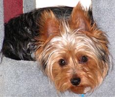 Silky terrier-Silkies are often mistaken for Yorkies. Looks just like Lucy Silky Terrier, Yorshire Terrier, Terrier Puppies, Cute Puppies, Cute Dogs, Dogs And Puppies, Doggies, Yorkie Names, Animals Beautiful
