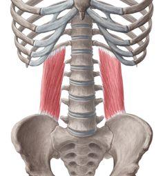 Quadratus lumborum: transverse process of L1-4, iliolumbar ligament, post third of iliac crest (origin) rib 12 & upper transverse process lumbar vertebrae. Action: lateral flexes trunk, elevate hip, extend vertebral column, fix 12th rib during respiration