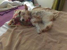 Fox Terriers, Wire Fox Terrier, Duffy, Corgis, Animals And Pets, Fur, Kids, Pictures, Pets