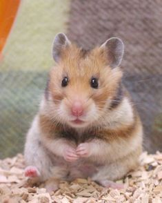 Caring Guide for Baby Hamsters Hamster Pics, Baby Hamster, Hamster Care, Cute Rats, Cute Funny Animals, Cute Baby Animals, Animals And Pets, Hamsters As Pets, Funny Hamsters