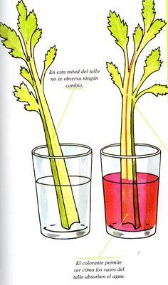 En este sencillo experimento vemos como la planta absorbe el agua y lo distribuye por todas sus ramificaciones, y lo más importante lo podremos apreciar como si la planta fuera transparente. Mater...