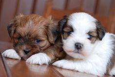 Lhasa puppies