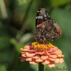https://flic.kr/p/xwq94o | Vanessa atalanta | Vulcain butinant une fleur de zinnia dans mon Jardin. Limousin, France.    Red Admiral gathering nectar of zinnia flower in my garden. Limousin, France.   Vanessa atalanta  Beynat, Corrèze