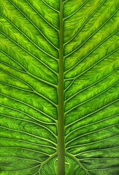 a beautiful close-up of a green leaf - photo One Giant Leaf by Andrew Murray Colors Of The World, Leave In, Patterns In Nature, Textures Patterns, Leaf Patterns, Fractal Patterns, Go Green, Green Colors, Colours