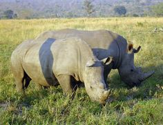 South Africa to Legalize Domestic Rhino Horn Trade A court ruling overturns a 2009 ban, a move that conservationists worry will increase poaching Pilot Whale, South Africa Safari, Countries To Visit, Africa Travel, Beautiful Creatures, Animal Photography, Dolphins, Mammals, Wildlife