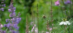 linaria purpurea & love in a mist