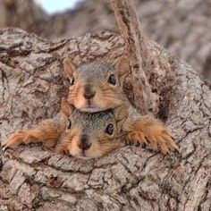 Squirrels peering out of the knot in a tree