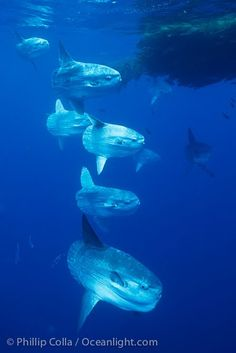 Ocean sunfish schooling near drift kelp, soliciting cleaner fishes, open ocean, Baja California.