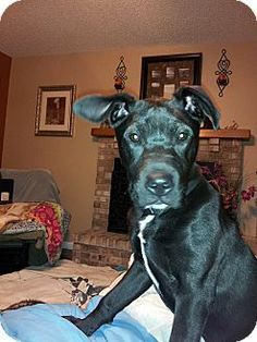 Sunset Hills, MO - Labrador Retriever/Great Dane Mix. Meet Knightly a Puppy for Adoption.